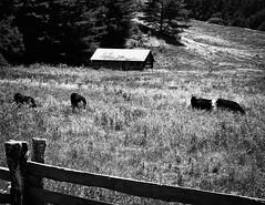Mountain Home (John Ilko) Tags: 500px mountain home homestead field cows northcarolina fujifilm xe2 monochromeg 1855mm roadside landscape