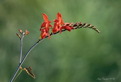 Crocosmia Lucifer. (nondesigner59) Tags: crocosmialucifer flower nature vibrant flora fiery copyrightmmee eos7dmkii nondesigner nd59