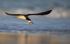 Black Skimmer (T L Sepkovic) Tags: blackskimmer skimmer shore shorebird evening sunset goldenhour wildlife wildlifephotography canon teamcanon lenscoat 5dmkiv birdsinflight flight ngc