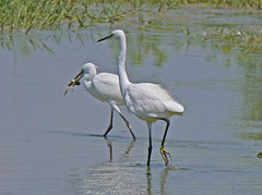 Egretta garzetta / Garzetta / Little Egret (Alvaro Colombo) Tags: coth coth5 fantasticnature national geographic wildlife ngc