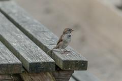 Sparrow (liamtatts84) Tags: sony wildlife birds sparrow