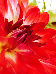 The Lady in Red (Steve Taylor (Photography)) Tags: green red yellow white closeup macro newzealand nz southisland canterbury christchurch northnewbrighton flower dahlia petals