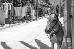 Burrito (Marcos Núñez Núñez) Tags: burrito burro asno donkey blackandwhite bw oaxaca usila mexico chinantla chinantecos region tendedero