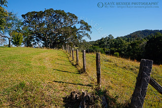 Country Fence and Old Fig Tree by Kaye Menner