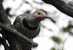 A Flickr Flicker (robinlamb1) Tags: nature outdoor animal bird woodpecker northerflicker colaptesauratus redshafted male branch