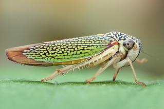 Macugonalia cavifrons