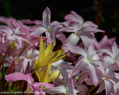 Rain Lilies (jasenhigdon) Tags: flowers lilies lily flowerphotography naturephotography