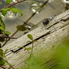 Keeled Skimmer (ianbartlett) Tags: outdoor macro landscape wildlife nature birds butterflies dragonflies cattle flight flowers colour light shadows clouds