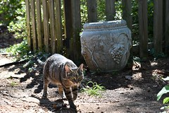 Camille with fence shadow (rootcrop54) Tags: camille female tabby mackerel fence concrete urn grapes shadows neko macska kedi 猫 kočka kissa γάτα köttur kucing gatto 고양이 kaķis katė katt katze katzen kot кошка mačka gatos maček kitteh chat ネコ