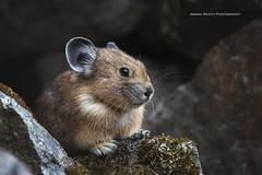 Pika (ArmanWerthPhotography) Tags: armanwerthphotography pika northcascadesnationalpark maplepassloop wildlife wild nature
