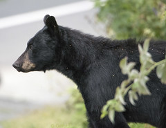 Bear profile 113 (Gillfoto) Tags: bear bearcountry blackbear garden fruit picker