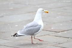 Whitby, North Yorkshire 2018 (SteveH1972) Tags: whitby northyorkshire yorkshire outside outdoor outdoors 2018 summer england britain northernengland coast coastal uk europe british resort seaside seasideresort canon canon7d 7d canon70200 70200 seagull bird seagulls gull gulls