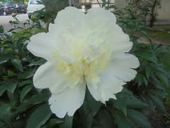 341 (en-ri) Tags: peonia paeonia bianco verde foglie leaves bush cespuglio sony sonysti