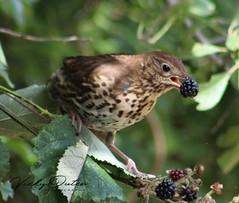Song thrush with a blackberry in its beak (vickyouten) Tags: vickyouten food blackberry leigh penningtonflash wildlife nature bird thrush songthrush