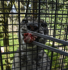 Wales 2018 (Kristine McCormick Photography) Tags: wales llandudno nature national park sea beach snowdonia snowdon nikon d5200 holiday travel uk clouds zoo welsh snow leopard snowleopard cat bigcat bigcats beauty beautiful meat chicks chick rawmeat experience brother endangered feeding enclosure cage