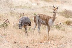 Vigogne et Nandou de Darwin (◄Laurent Moulin photographie►) Tags: vigogne et nandou de darwin citadelle besanon parc animalier zoo zoologique savane lama autruche oiseau nikon d 750 sigma 70 200 f 28 paysage