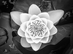 Lone Lily (Bryan Flynn) Tags: lily floating blackandwhite monochrome waterlily flower water iphonex bw shotoniphone blackandwhitephoto lonelily