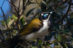 Blue-faced Honeyeater (RoosterMan64) Tags: australia australiannativebird bird bluefacedhoneyeater honeyeater nsw nature wildlife