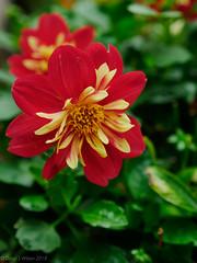 Dahlietta (David S Wilson) Tags: 2018 panasonicdmcgx80 england flowers floral ely lumixgvariox281235mm lightroom davidswilson dahlietta