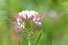 White unidentified flower (Ben-ah) Tags: white flower bbg brooklynbotanicgarden macro stamen pistil constellation