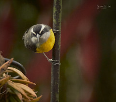 Dia 315 (gedaesal) Tags: bird outdoors yellow colors details closeup sanfranciscocolombia