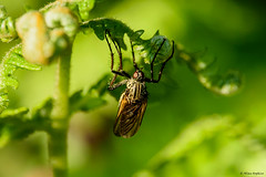Photo of Dance Fly (Empis tessellata), female