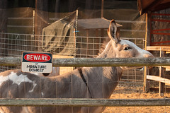 Beware of Miniature Donkey (csquags) Tags: beware miniature donkey