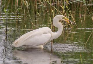 DSC2559 Great White Egret..