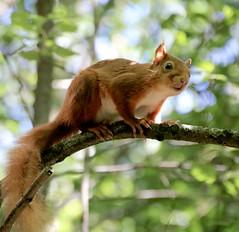 Red Squirrel (BrianDerbyshire) Tags: uk scotland dumfriesandgalloway gallowayforrest squirrel redsquirrel sciurusvulgaris mammal canon canondslr