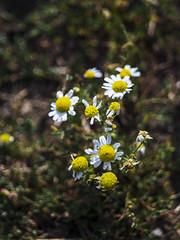 DSC04550 (mrschroedinger) Tags: bokeh bokehbliss bokehlicious detail macro flower nature colours sony sonyphotography sonyalpha6000 garden plant butterfly vintagelens