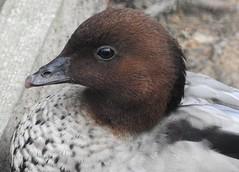 Maned Goose (blue33hibiscus) Tags: bird waterfowl manedgoose axevalleywildlifepark axminster devon