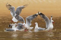 Silvery gulls (marco.valentini) Tags: gull silverygull larusnovaehollandiae abeltasman newzealand charadriformes laridae