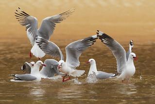 Silvery gulls