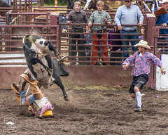 Falling, Bucking, Protecting (allentimothy1947) Tags: 2018 duncanmills bucking bulls competition cowboy riders rodeo roping russianriverrodeo duncan mills audience chaps clown danger fall hat helmet kicking racing russian river shorts socks
