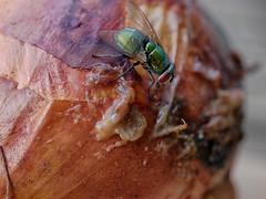 Enjoy your meal.... (BeMo52) Tags: fliege fly macro macromondays makro natur nature onion zerfall zersetzung zwiebel decay goldfliege green bottle