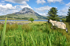 """As Irish as it Gets"" (Gareth Wray - 10 Million Views, Thank You) Tags: mount errigal mountain famous derryveagh mountains landscape sheep shearing lamp jump jumping fairy tree wool ram view gweedore county donegal ireland irish field countryside nature grass heather mts mt gareth wray photography nikon d810 nikkor wide angle lens scenic drive landmark tourist tourism location visit sight site dunlewey lake lough poison poisoned glen valley grassy summer lakescape moor day photographer vacation holiday europe grassland sky plant clady river forest water 2470mm"
