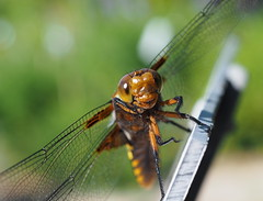 Dragonfly (madbesl) Tags: libelle dragonfly natur nature macro makro augen eyes insect flügel wings bokeh olympus omd em10 m10 omdem10 zuiko35mm adapted fourthirds