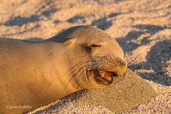 Snoozing Galapagos Sea Lion 500_4135.jpg (Mobile Lynn) Tags: sealion wild marinemammals galapagossealion nature fauna mammal mammals otariidae wildlife zalophuswollebaeki