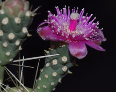 It Came From Outer Space (oybay©) Tags: cactusflower cactus flower pink macro upclose arizona flora flores fiori blumen color colors fantastic plant outdoor blossom depth field cylindropuntiaspinosior canecholla spinychollawalkingstickcactus