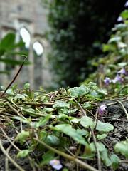 Irland (Nadja Golitschek) Tags: irland grüneinsel ireland insel tourismus impressionen ruine malahide schloss efeu natur