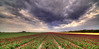 A Mob of Angry Red Tulips. (Alex-de-Haas) Tags: 11mm adobe blackstone d850 dutch hdr holland irix irix11mm irixblackstone lightroom nederland nederlands netherlands nikon nikond850 noordholland photomatix photomatixpro beautiful beauty bloem bloemen bloementeelt bloemenvelden cloud clouds cloudscape drama dramatic floriculture flower flowerfields flowers landscape landschaft landschap lente lucht mooi nature natuur polder skies sky skyscape spectaculair spectacular spring sun sundown sunset tulip tulips tulp tulpen wolk wolken zonsondergang