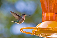 APPROACH (ddt_uul) Tags: hummingbird rubythroatedhummingbird green orange bird female hover feeder blue nature summer michigan