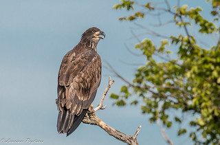 Fledgling bald eagle - Staten Island, New York