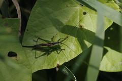 Short-winged Conehead (Chris B@rlow) Tags: conocephalusdorsalis conehead shortwingedconehead nymph lancashire leightonmoss rspb nature wildlife insect bug macro canon7dmarkii sigma105macro