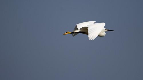 Little egret (Egretta garzetta) - Culm River, Cullompton, Devon - 13 July 2018