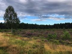 Woolmer Range (Marc Sayce) Tags: heathland heather tree woolmer ranges forest conford longmoor south downs national park hampshire summer august 2018