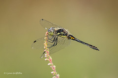 Black Darter - Male 501_3065.jpg (Mobile Lynn) Tags: nature insects dragonfly blackdarter fauna insect wildlife coth specanimal coth5 ngc npc