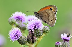 The Butterfly and the Thistle flower. (pstone646) Tags: butterfly flora fauna insect nature wildlife wildflower animal closeup macro plant bokeh kent colour green meadowbrown purple
