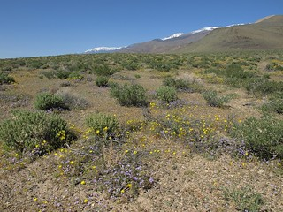 Coldwater Canyon fan in superbloom