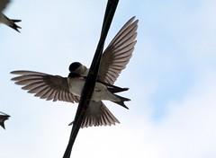 Bisous d'Hirondelle (Pittou2) Tags: luc nx nx30 samsung france byluc paysage paysagedefrance pyrénées vache brume champs petitmatin landscape oiseau bird laviedesoiseaux oiseaux voldoiseaux oiseaudefrance volatil volatile hirondelle